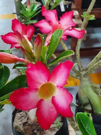 Feira Rosas do Deserto chega a Zona Norte de Natal a partir desta quinta-feira
