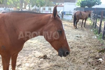 Índice de mortalidade do tétano em equinos chega a 80%; doença exige prevenção, alerta especialista da Ceva Saúde Animal